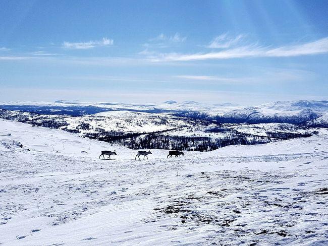 Reindeers Reindeer Norway Easter 2018 Mountain Trip Blue Sky Winter