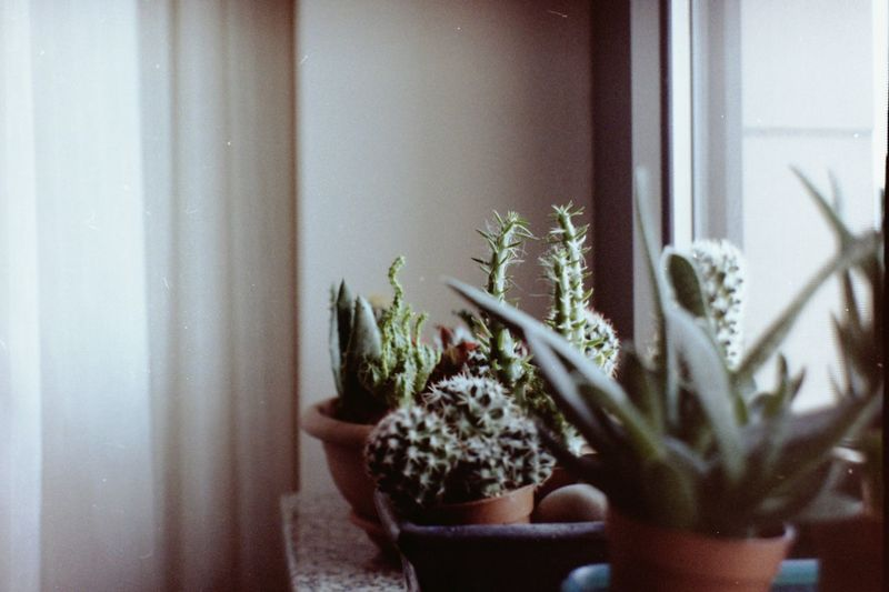 House Decor Light Nature Apartment Apartment Plant Cactus Close-up Film Photography Flower Pot Green Color Growth Home Interior Home Plant House Decoration Houseplant Houses And Windows Indoors  Nature Plant Potted Plant Selective Focus Sill Decoration Sill Plant Window Windows