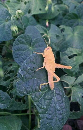 This grasshopper and his friends are eating my flowers before they can bloom. Taking Photos Check This Out Hello World Nature Desert Beauty Naturelovers Nature On Your Doorstep Insects  Frommygarden Open Edit For Everyone