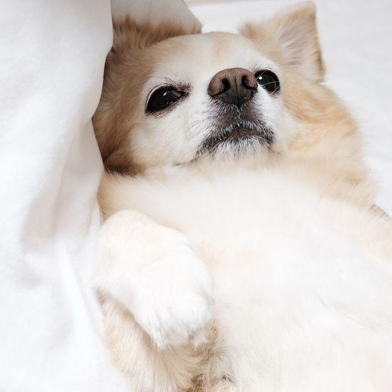 X70 Fujifilm X70 Fujifilm チワワ Bausch Dog Chihuahua