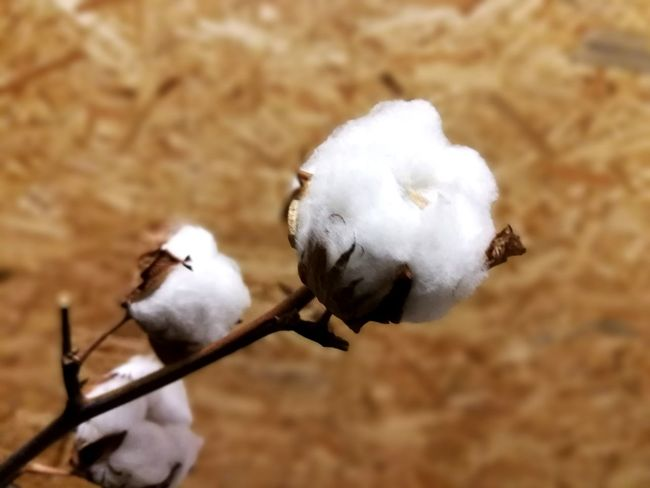 Cotton Organic Cotton Baumwolle Plant Nature Knospe Flower Head Plants And Flowers