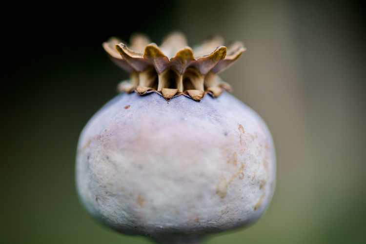 Dry poppy head grown in English garden Drug Drugs Beauty In Nature Blur Brown Close Up Close-up Day Dry Flower Head Food Fragility Freshness Garden Grey Macro Crop Nature No People Opium Plantation Poppy Poppy Head Poppy Seeds Shell Side View