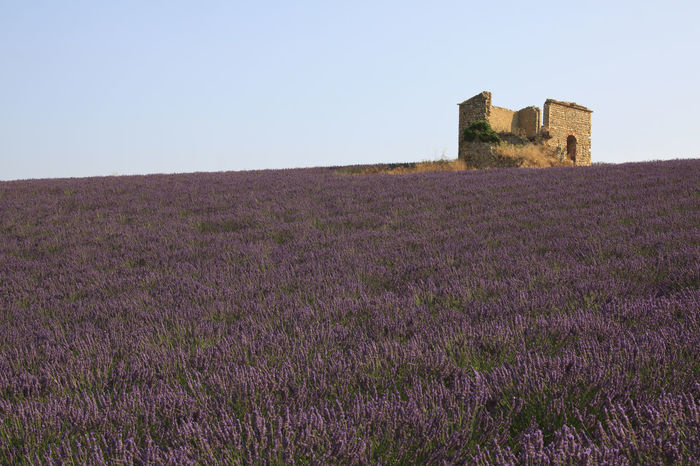 France, Lavender field and farm Agriculture Architecture Blue Building Exterior Built Structure Clear Sky Copy Space Europe Farm Field Flowers France Grassy Growth Landscape Lavander Nature Outdoors Provence Senanque Sky Sun Tranquil Scene Tranquility Valensole
