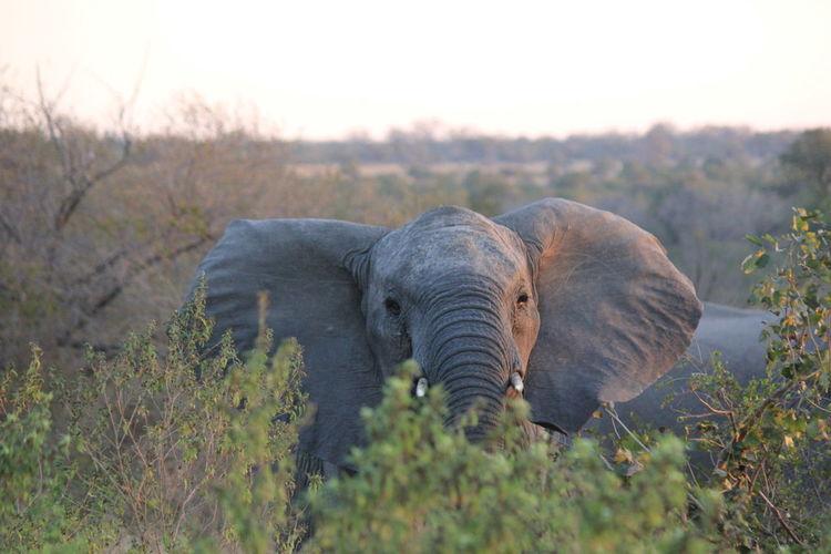 Elephant Amidst Trees On Field