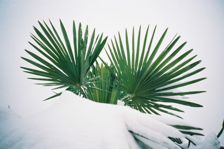 Palm Tree EyeEm Selects Leaf Green Color Growth Nature Close-up Plant White Background Beauty In Nature Outdoors