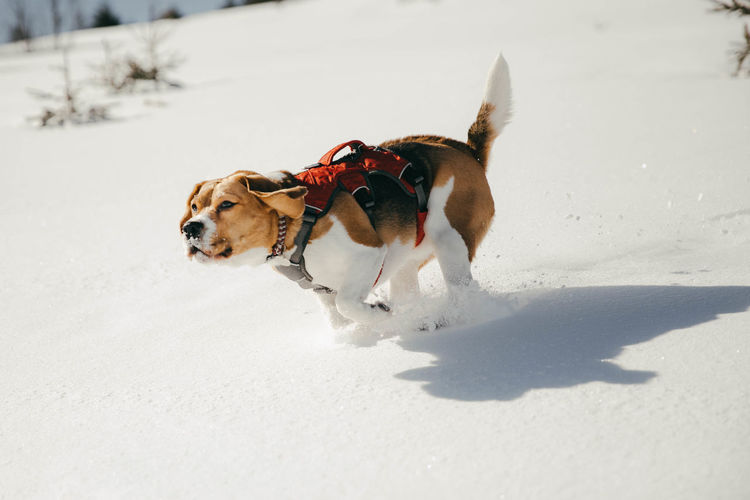 Beagle dog running in the snow Dog Canine Pets Domestic Domestic Animals Cold Temperature Animal Themes Animal Snow Nature White Color Beagle Beaglelovers Beagle Channel Beagles  Beagleoftheday Dogs Dogs Of EyeEm Winter Wintertime Winter Wonderland Winter Sport Snowing Day Outdoors