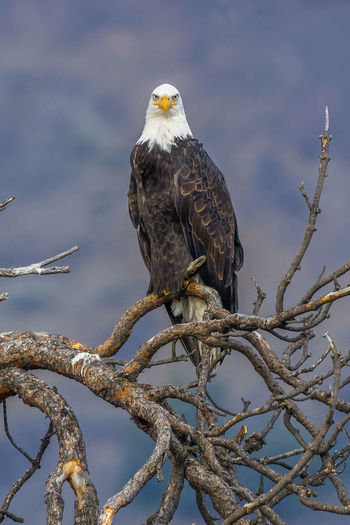 Bald eagle looking Bird Bird Of Prey Animals In The Wild Animal Wildlife Animal Animal Themes Bald Eagle Eagle One Animal Nature Eagle - Bird Tree Outdoors Low Angle View Day Bald Eagle Bald Eagles Looking At Camera Stare Birds Of EyeEm  Birds_collection Birds🐦⛅ Birds In Flight