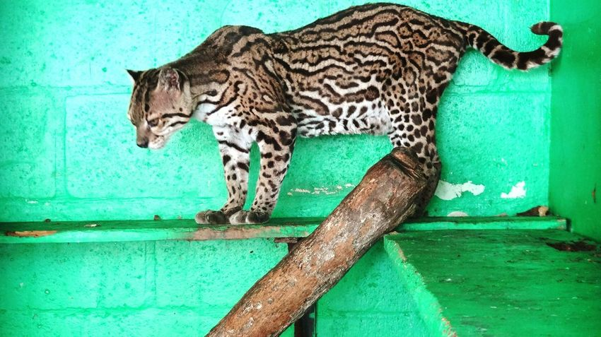 One Animal Animal Themes Animals In The Wild No People Day Feline Outdoors Leopard Mammal Trinidad And Tobago Trinidad ZOO-PHOTO Zooanimals Zoophotography Ocelot Ocelots