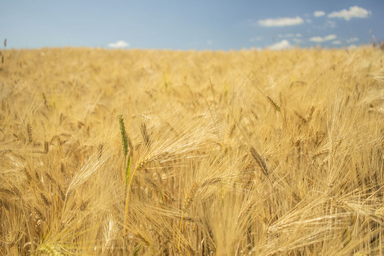 Agriculture Beauty In Nature Cereal Plant Crop  Environment Farm Field Land Landscape Plant Rural Scene Wheat