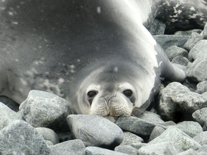 Antarctica Weddell Seal Animals In The Wild Animal Animal Wildlife Animal Themes One Animal No People Sea Sea Life Mammal Marine Rock Solid Close-up Nature Seal Relaxation