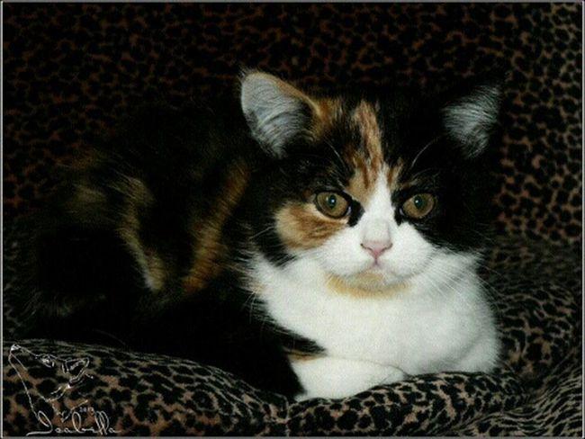 Аллегра кошка котёнок британская британка трехцветная