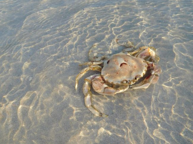 Crab chilling in the water Crab Water Ocean Beach Melkbosstrand South Africa Looking At You Calm Sand Sea Life