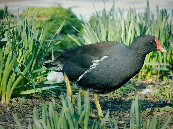 Moorhen in the grass. Moorhen Nature Groundlevel Wetlands Animals Birds Feathered Birdwatching Wildlife