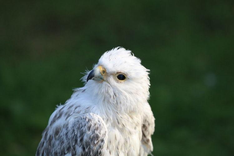 Close-up portrait of white birds of prey