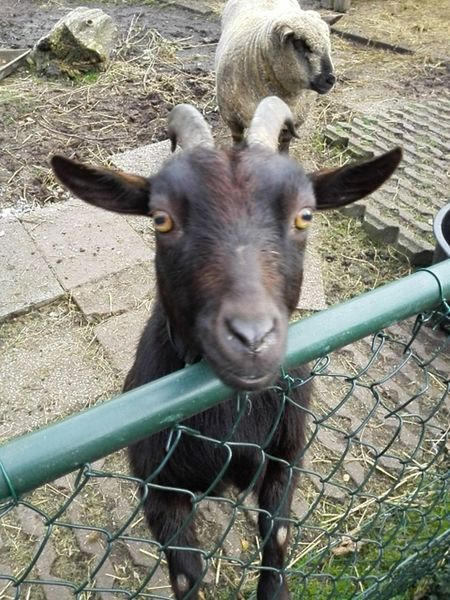 Hi there, behind me is my best friend his name is just sheep as I am just goat. Animal Animal Head  Animal Themes Close-up Day Domestic Animals Goat Goat Livestock Mammal Miniature Goat Nature No People Outdoors Portrait Sheep