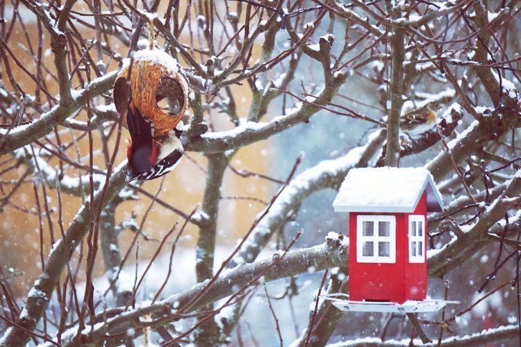 birds in the three Hakkespett Bird Eating Winter Houses Red Birds House Tree Branch Snow Cold Temperature Bird Winter Snowing Bare Tree Frozen Red Snowfall