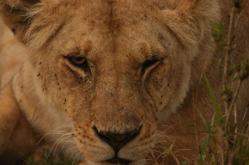 Female Lion Face Animal Themes Animals In The Wild Close-up Day Lion - Feline Lioness Mammal Nature No People One Animal Outdoors Portrait Safari Animals