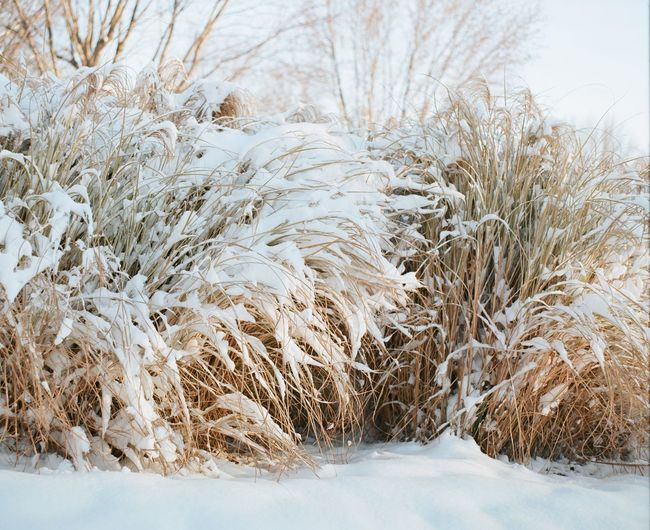 Snowy grasses in Indianapolis, Indiana. Beauty In Nature Cold Temperature Covering Day Field Film Film Photography Grass Landscape Nature No People Non Urban Scene Non-urban Scene Outdoors Plant Rural Scene Scenics Season  Snow Tranquil Scene Tranquility Tree Weather Winter