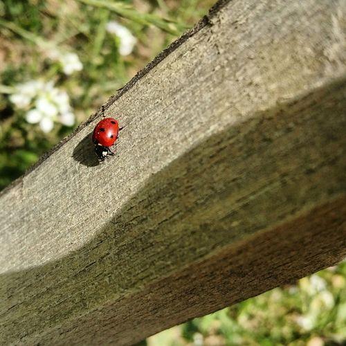 cox Ladybug