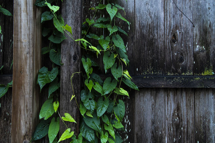 Wood - Material Plant Part Leaf Green Color Plant Growth No People Nature Day Close-up Outdoors Plank Ivy Boundary Barrier Directly Above Door Fence Entrance Wood Texture