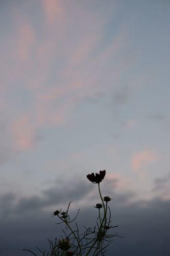 手に入れた浮力 Sky Cloud Cosmos Fukui