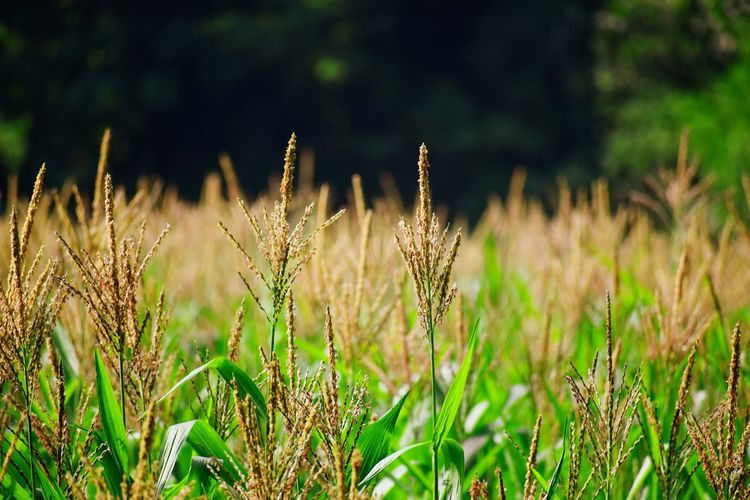 Cereal Plant Rural Scene Defocused Springtime Tree Summer Field Close-up Grass Landscape Ear Of Wheat Blooming Cultivated Land Wheat Crop  Farm Rice Paddy Farmland Plantation The Great Outdoors - 2019 EyeEm Awards My Best Photo