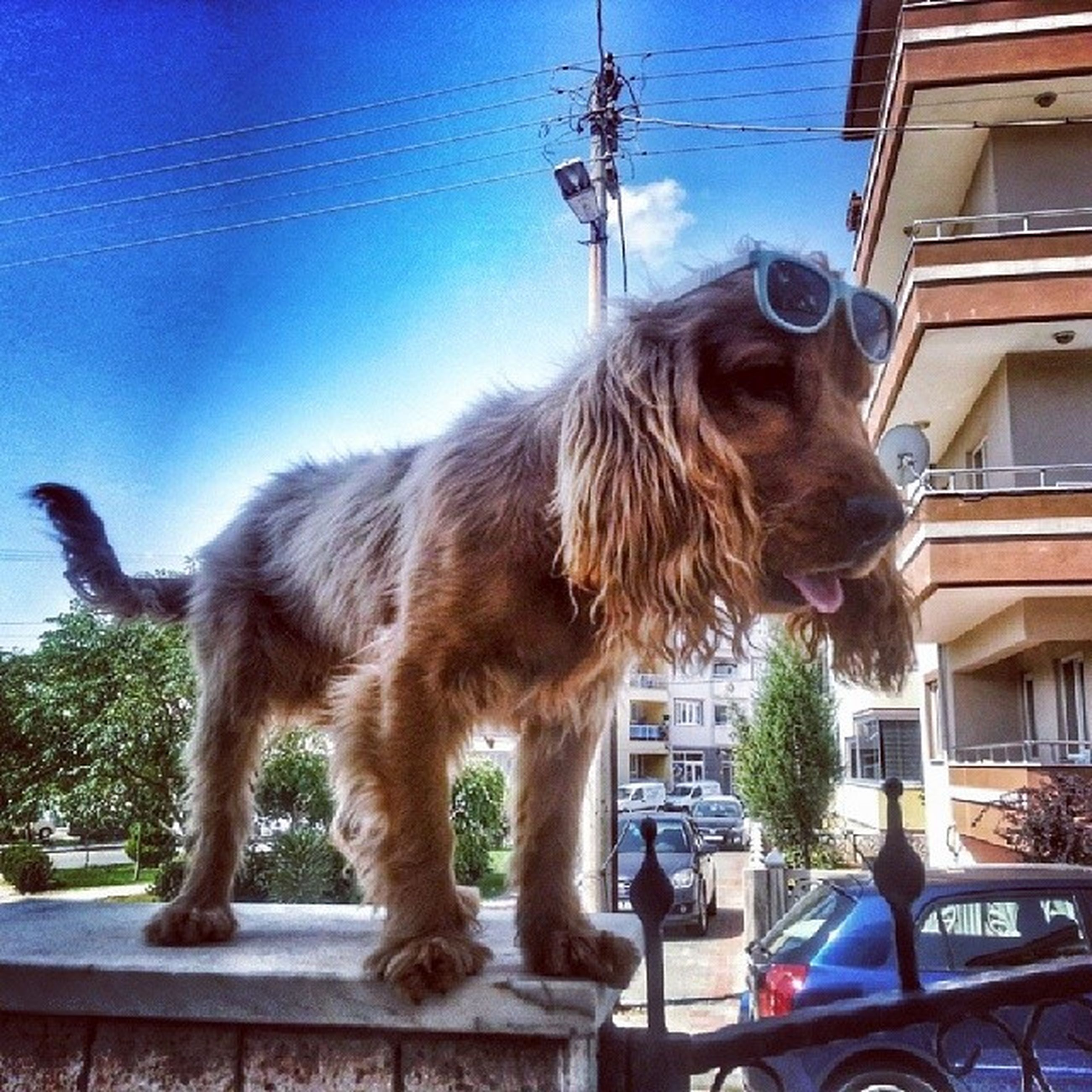 animal themes, domestic animals, mammal, one animal, car, transportation, land vehicle, pets, mode of transport, building exterior, road, street, built structure, dog, sky, day, outdoors, architecture, sunlight, tree