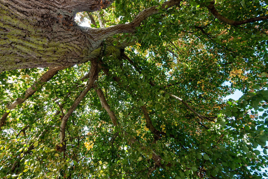Looking up at the canopy of a tree Beauty In Nature Branch Day Directly Below Green Color Growth Low Angle View Nature No People Outdoors Plant Plant Part Tranquility Tree Tree Canopy  Tree Trunk Trunk