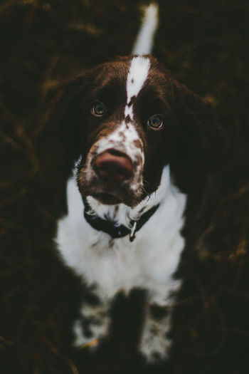 Close-up portrait of english springer spaniel standing on field