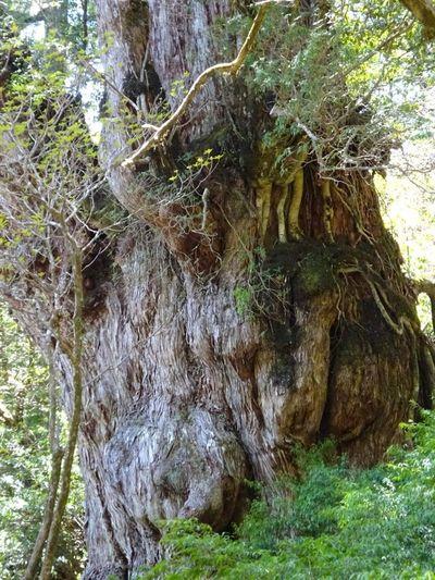 Yakusugi Yakushima 縄文杉 千年杉 Jomon Cedar/縄文杉 Cedar Jomonsugi 屋久島 世界遺産 World Heritage World Heritage Site Tree Tree Trunk Water Close-up Woods Greenery