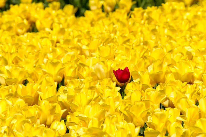 One red tulip between yellow tulips in a field Beauty In Nature Day Flower Flower Bulbs Flower Head Full Frame Growth Holland In Bloom Nature No People One Red Flower Plant Tulip Tulips🌷 Yellow