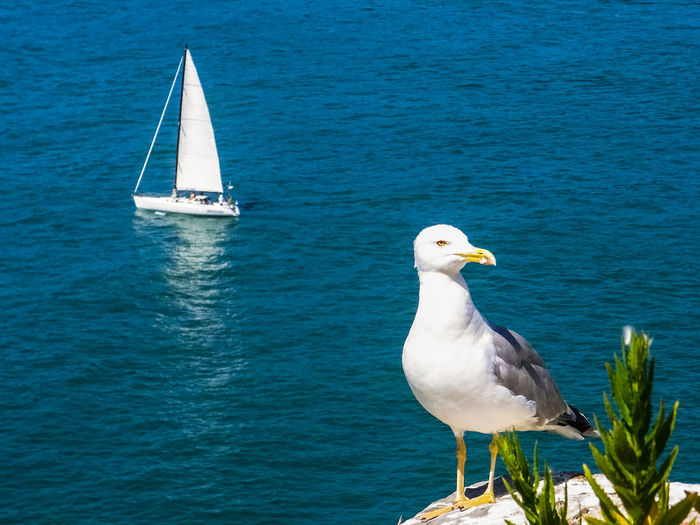 A Seagull and a