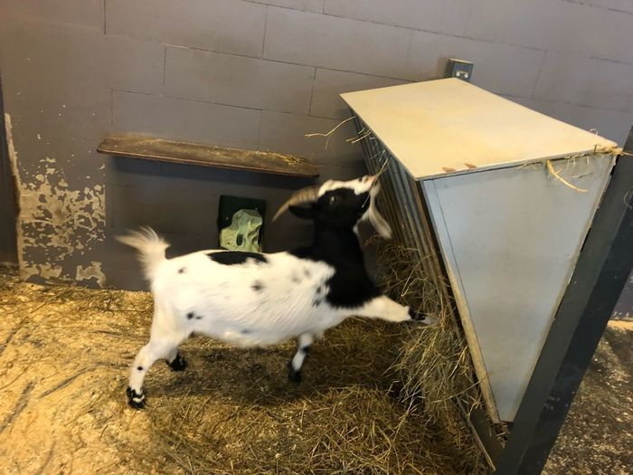 Eating Babygoat Domestic Animals Mammal One Animal Vertebrate No People Livestock Indoors  Young Animal Goat White Color
