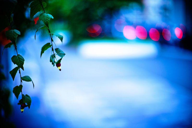Plant Botanic Flower Flowering Abutilon Chinese Bell Flower Tyrolean Lamp Roadside By The Roadside Evening Eventide Lights Taillights Bokeh Dof Depth Of Field Leicacamera LeicaM9 Noctilux 50mm F1.0