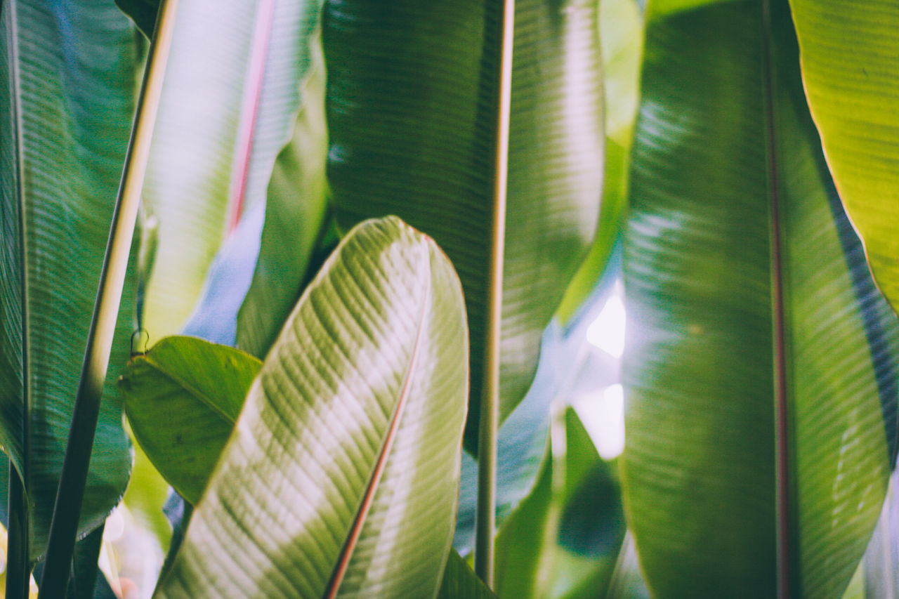 growth, leaf, plant part, plant, close-up, beauty in nature, green color, no people, nature, day, sunlight, leaves, outdoors, full frame, backgrounds, pattern, natural pattern, vulnerability, focus on foreground, banana leaf, softness, palm leaf