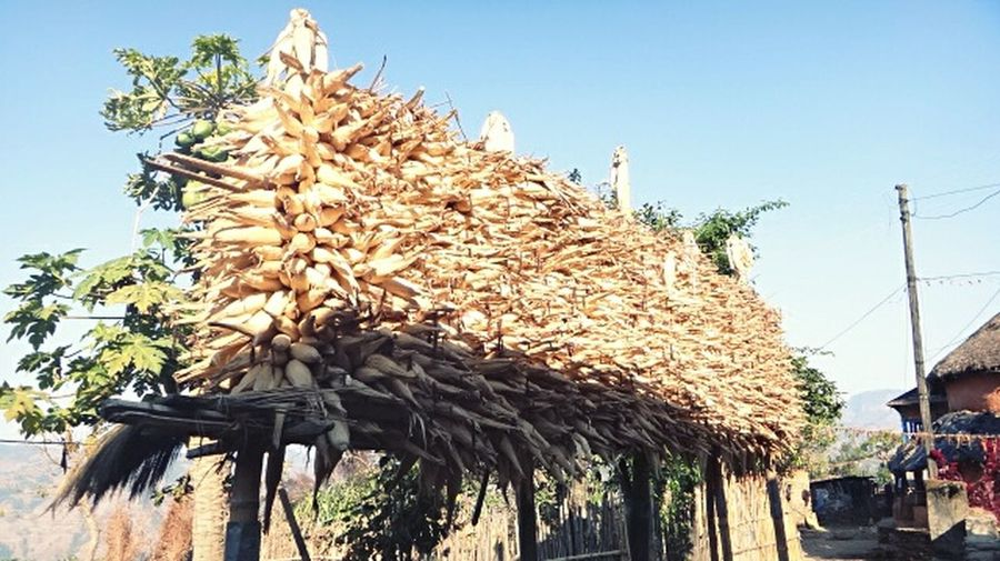 Dried maize.. Maize Corn Drying Up Preserving Winter Traditional Way Of Life Rural Life Mountainous Region Life In The Mountains Village Life Outdoors Real Life Photography Nepali Way Nepal No People Lifestyle Nature Beauty In Nature Culture And Tradition