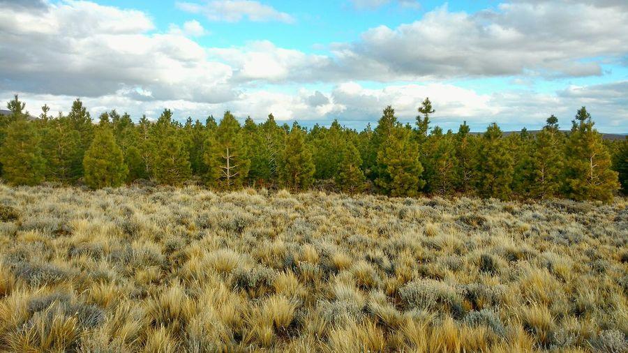 Forestación Forestation Ponderosa Pine Campo Cultivo Limite  My Work Un Buen Trabajo Good Work