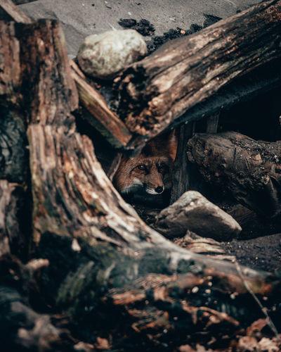 Fox looking away amidst tree trunks