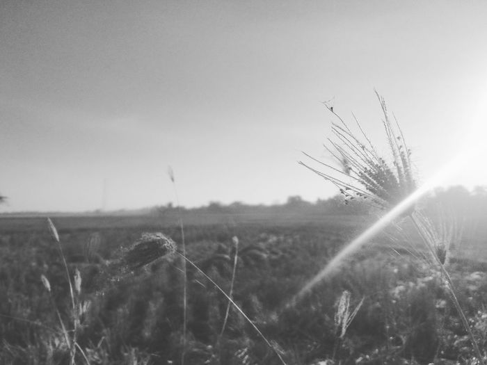Indonesia_photography Eksotis Beuty Of Nature Ilalang Sawah Camerahpgw Black & White