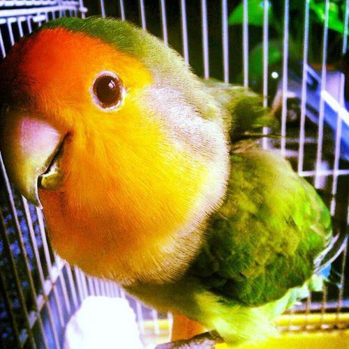 Pichí Mybird Bird Little Socute orange red green colours agapornis inseparable like instaphoto instabird instalike