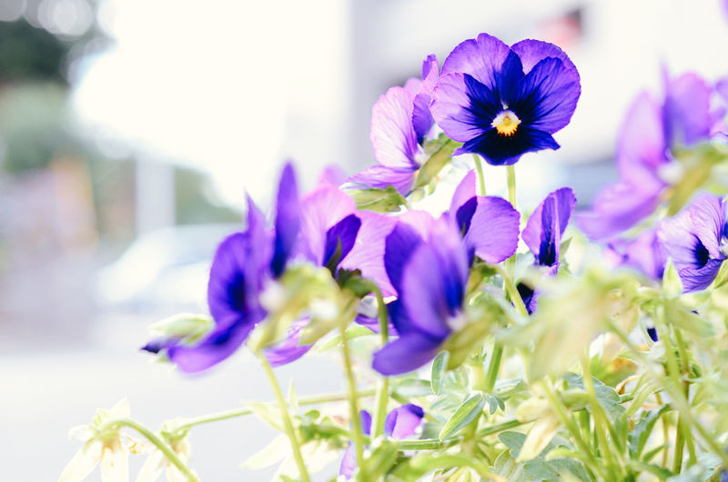 Close-up of purple flowering plants growing outdoors