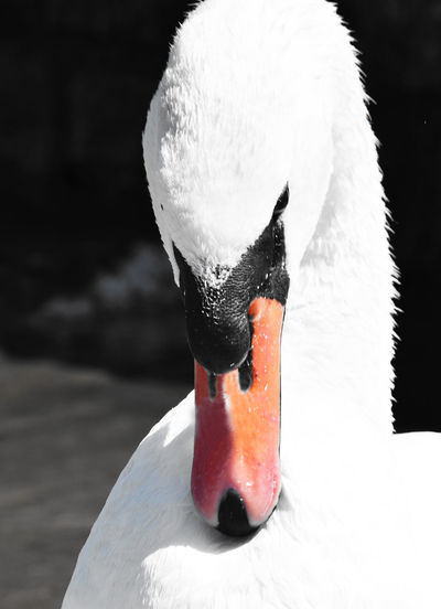 Portrait of a swan Animal Portrait Animal Themes Animals In The Wild Beak Bird Black And White With A Splash Of Colour Black Background Close-up Focus On Foreground Looking Down Portrait Red Swan Water Bird White Color Wildlife