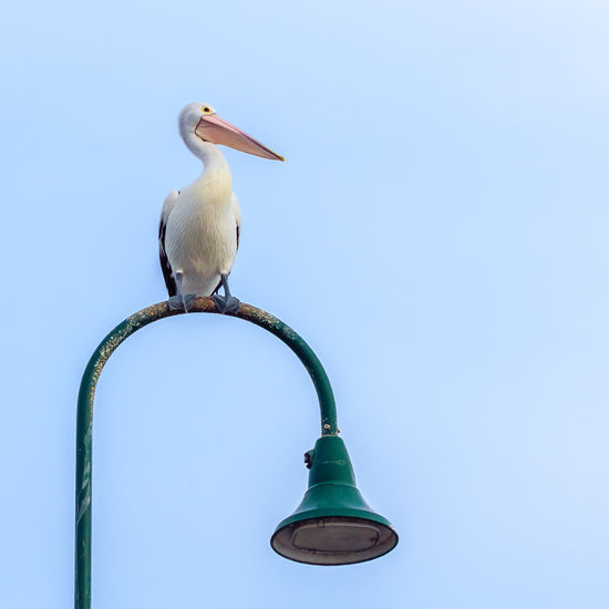 Blue Clear Sky Copy Space Day Low Angle View Outdoors Pelican Sky Street Light Wildlife Wildlife In The City Wildlife In Suburbia
