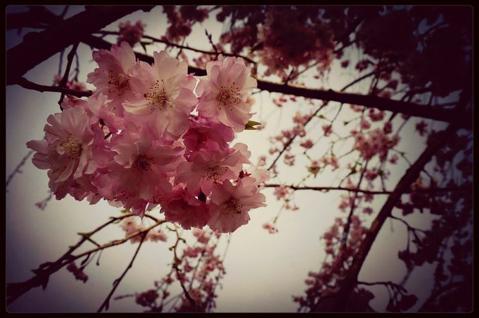 Flower Photo 桜