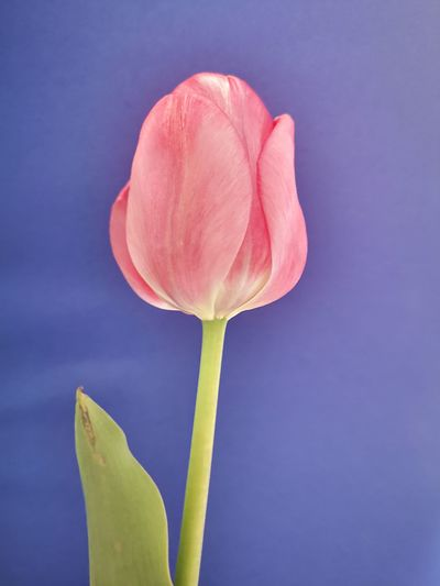 Close-up of pink tulip against blue background