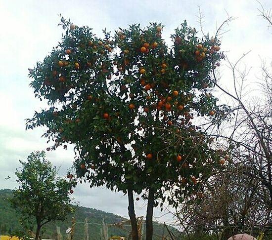 Orange Tree Nature Beauty In Nature Green 💚🌳