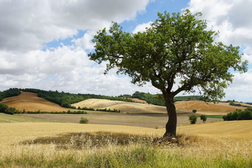 Blue Sky With White Clouds Colourful Fields Dry Grass Hills In Toscany No Photoshop, No Filter Picturesque Scenery Shadow Of Tree Sony A6000 Toscany Summer Tranquil Scene Outdoors Valdichiana, Toscany