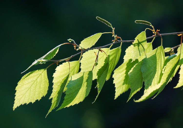 Close-up of birch tree leaves