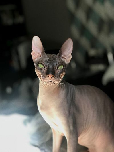 Sphynx One Animal Mammal Domestic Animals Pets Domestic Cat Domestic Cat Portrait Looking At Camera Home Interior Small Animal Eye