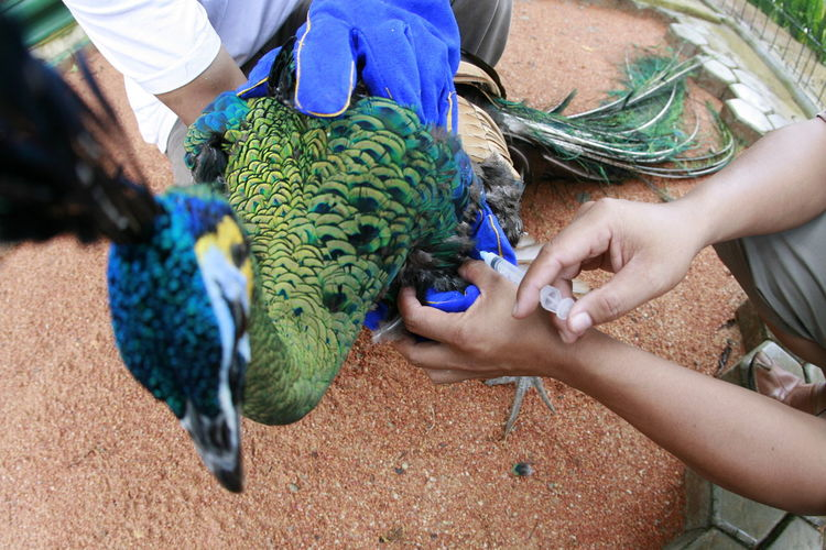 Medical Treatment To Peacock By Veterinarian